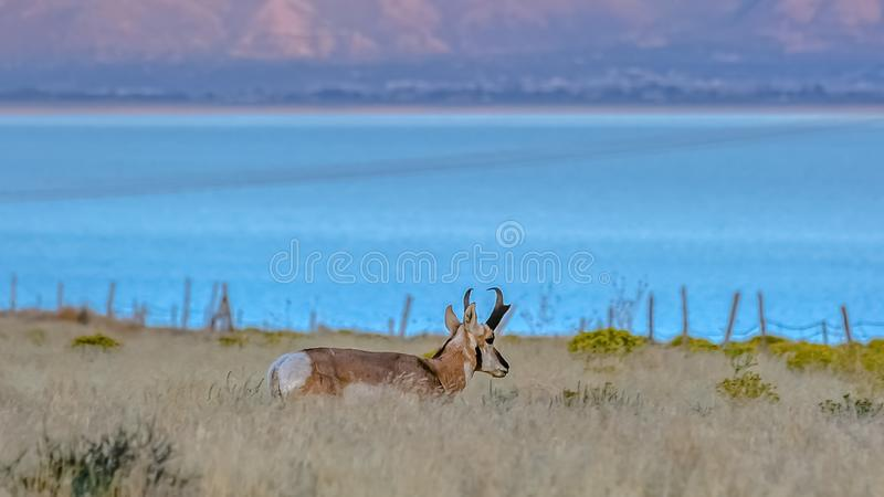 Male Pronghorn against Utah Lake and mountain royalty free stock image