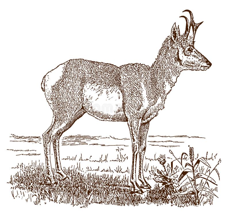 Male pronghorn antilocapra americana in side view, standing in a landscape stock illustration