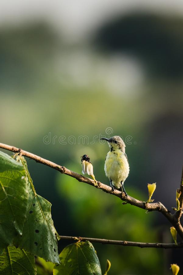 Male purple sunbird perched and watching. Male purple sunbird in non-breeding plumage perched on top plant with a bug royalty free stock photos