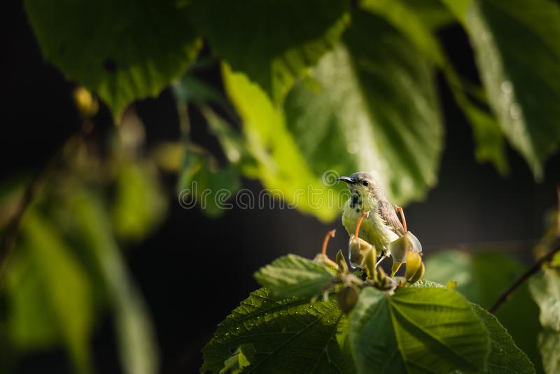 Male purple sunbird perched and watching. Male purple sunbird in non-breeding plumage sitting on a plant and watching royalty free stock photo