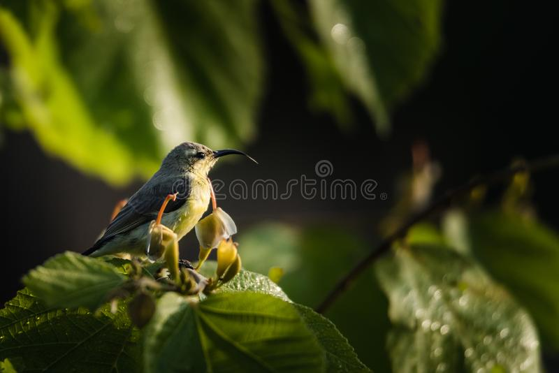 Male purple sunbird perched and waiting. Male purple sunbird in non-breeding plumage sitting on a plant and watching royalty free stock photography