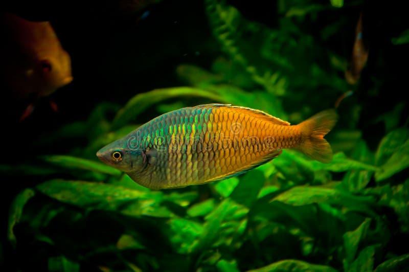 Male rainbowfish. A melanotaenia bossmani (rainbowfish) male in aquarium stock images