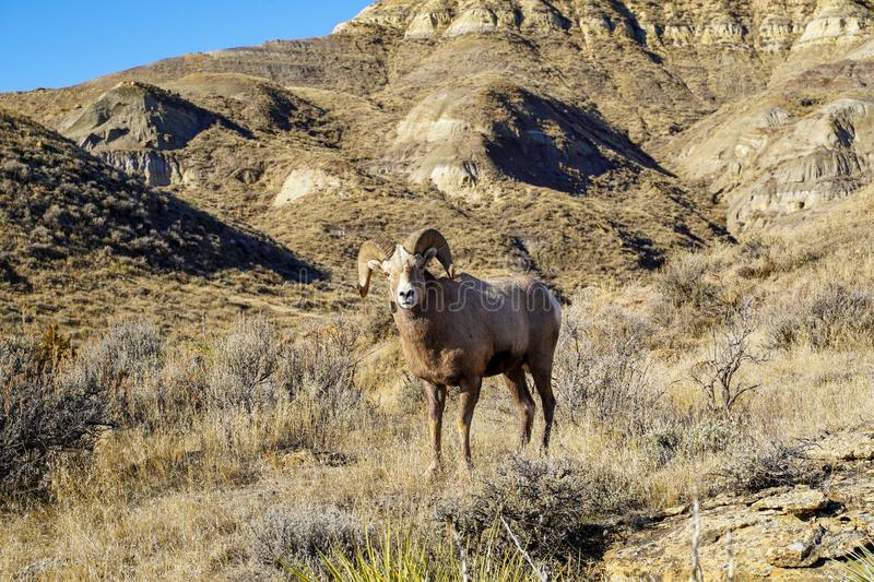 Male ram Bighorn sheep stares into the camera. Taken in Montana stock images