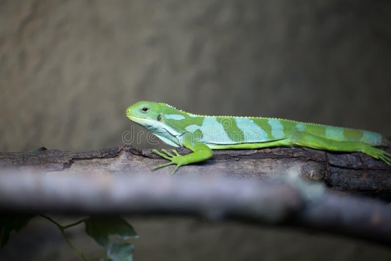 Male rare Fiji banded iguana, Brachylophus fasciatus royalty free stock images