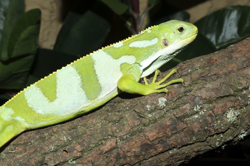 Male rare Fiji banded iguana, Brachylophus fasciatus royalty free stock photography