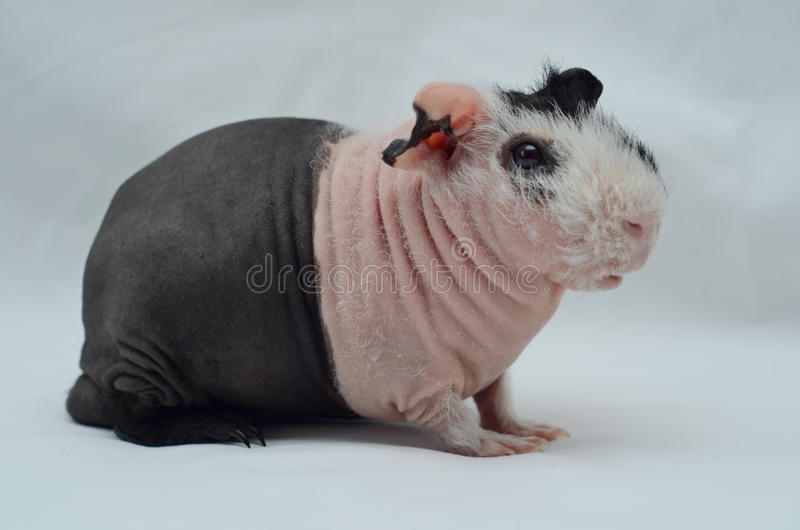 Male rare skinnypig stock image