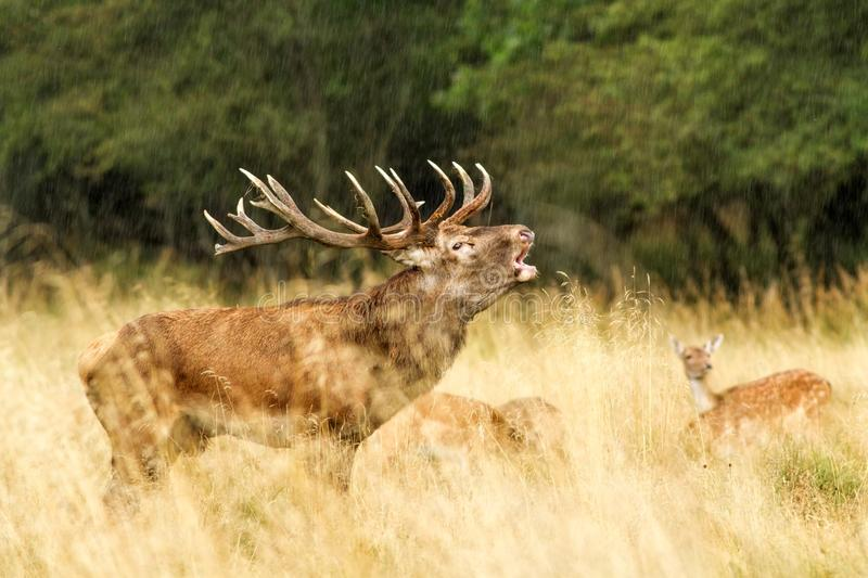Male red deer Cervus elaphus with huge antlers during mating season in Denmark stock photography