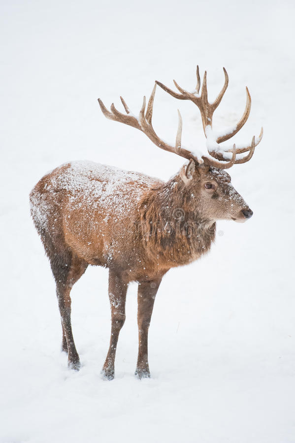 Male Red Deer (lat. Cervis elaphus) royalty free stock photo