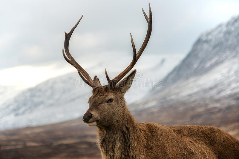 Scottish red stag stock photo