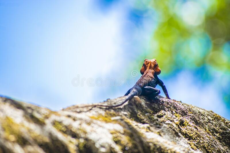 A Colorful male Agama Lizard in a National Forest at Panchmarhi, India royalty free stock images