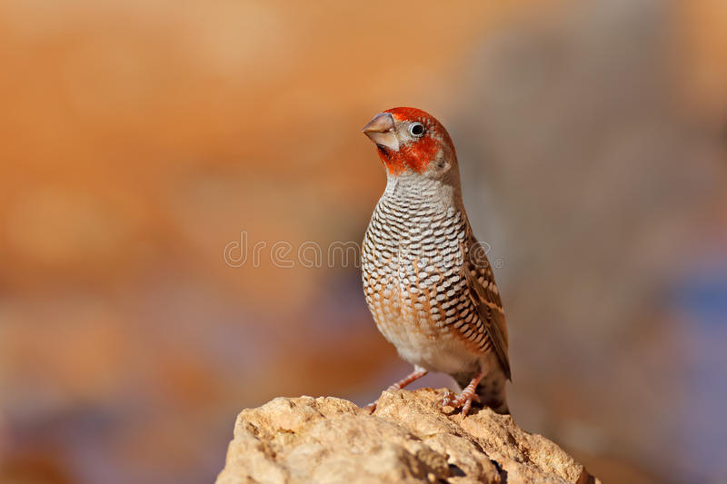 Male red-headed finch stock images