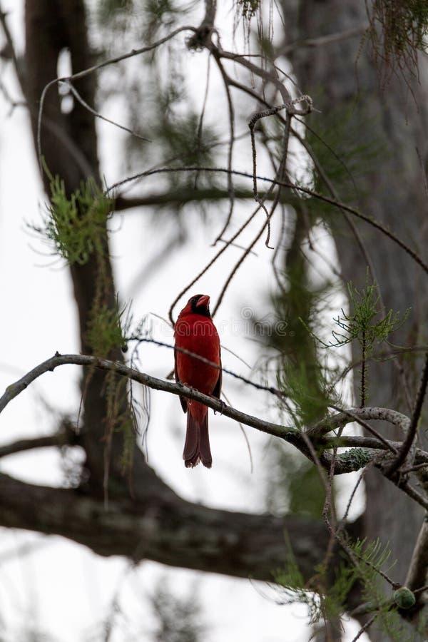 Male red Northern cardinal bird Cardinalis cardinalis. Perches on a tree in Naples, Florida royalty free stock image