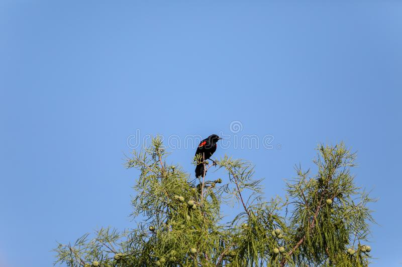 Male red-wing blackbird Agelaius phoeniceus perches on the tall reeds royalty free stock photography
