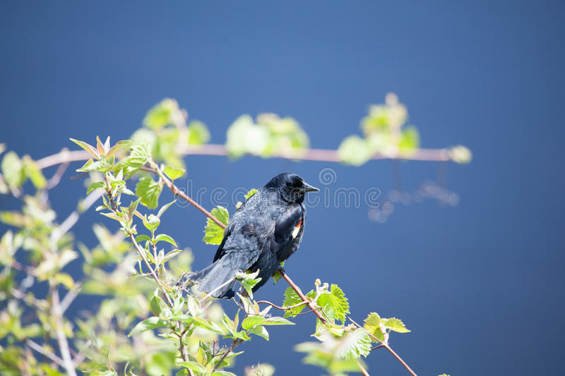 Download Male Red-winged Blackbird stock image. Image of winged - 27152111