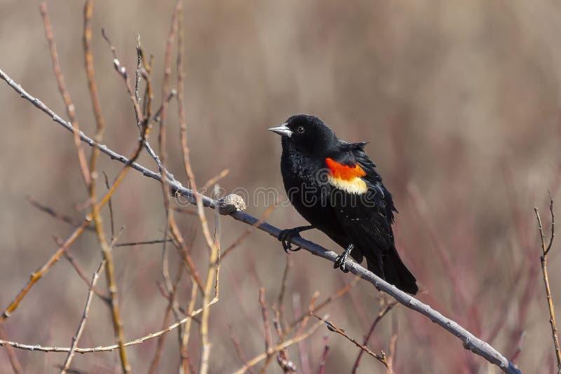 Male  red-winged blackbird Agelaius phoeniceus stock image