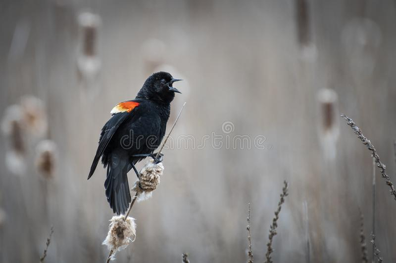 A male red winged blackbird royalty free stock photos