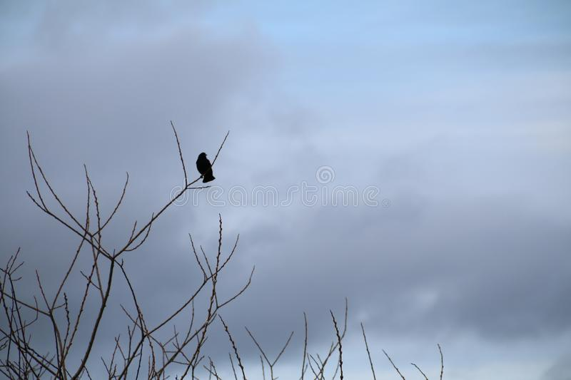 Male Red-winged Blackbird in Silhouette Perched on Tree Branch, stock images