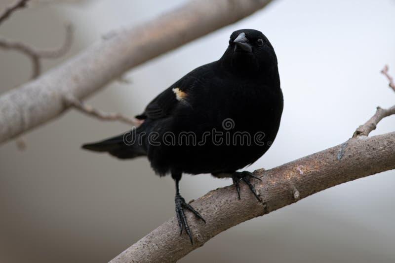 Male Red-winged Blackbird. stock photos