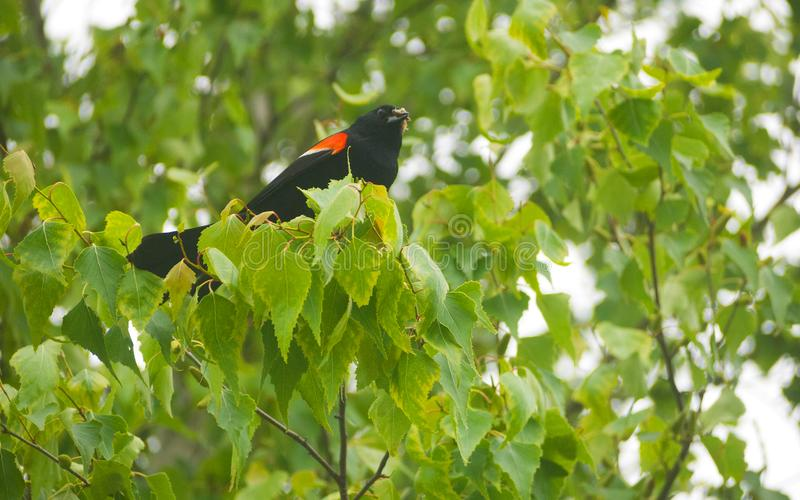 Male red winged blackbird in tree. A male red winged blackbird perched in a tree in Traverse City, Michigan, United States stock images