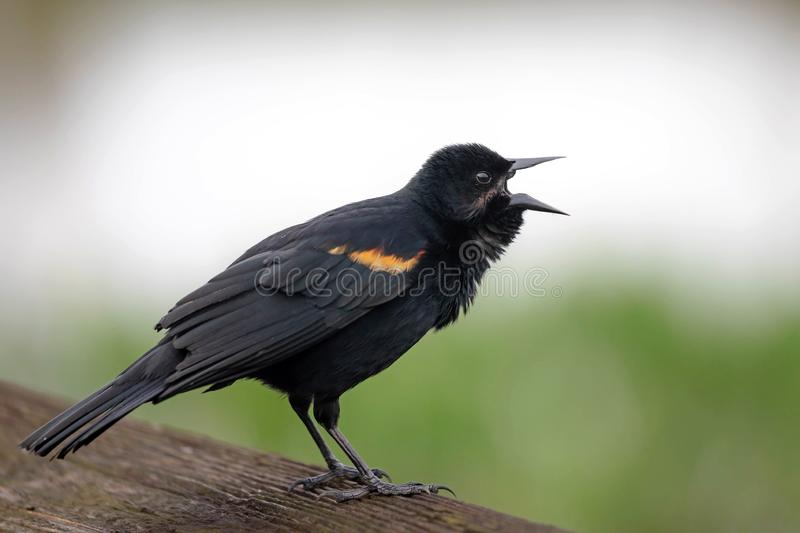 A male redwinged blackbird sings a morning song royalty free stock photography