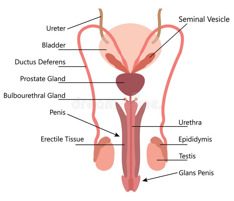 A diagram of a penis, real young tight ass