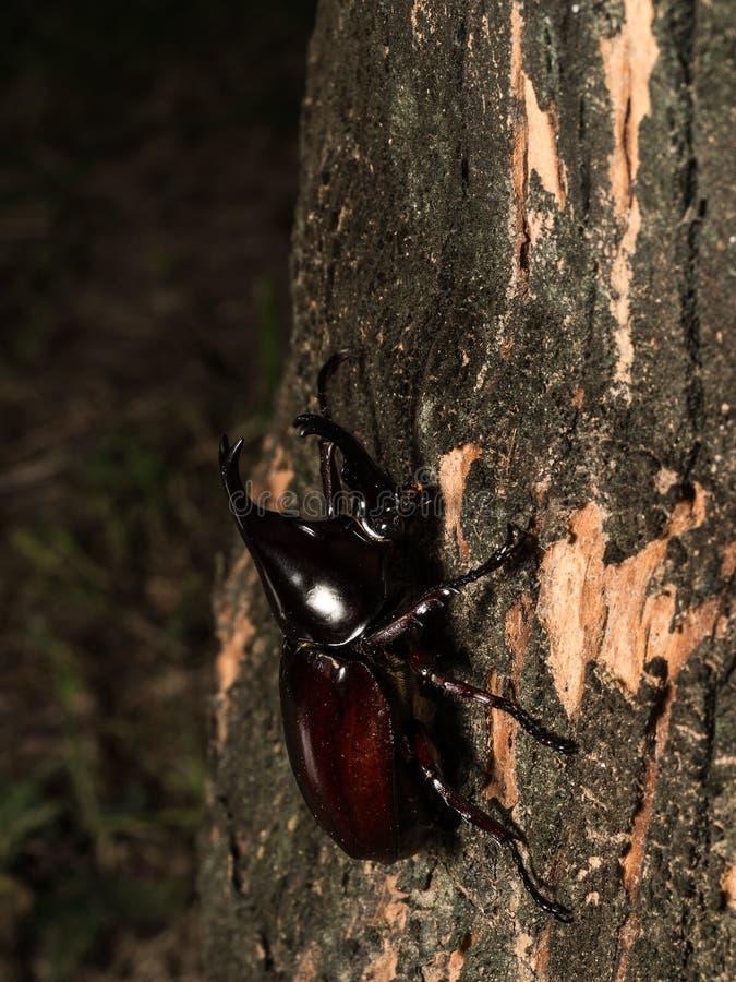 Male Rhinoceros beetle royalty free stock photography