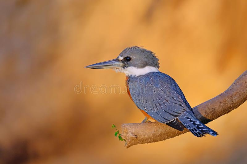 Male Ringed Kingfisher, Megaceryle Torquata, a large and noisy kingfisher bird, Pantanal, Brazil, South America stock photo