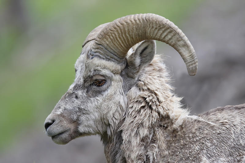 Male Rocky Mountain Bighorn Sheep - Banff National Park, Canada royalty free stock photos