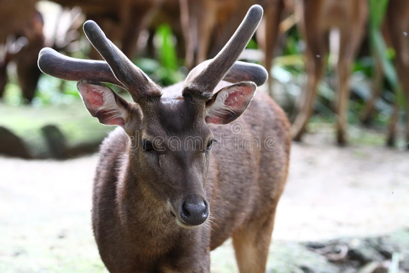 A Male Roe Deer Royalty Free Stock Images