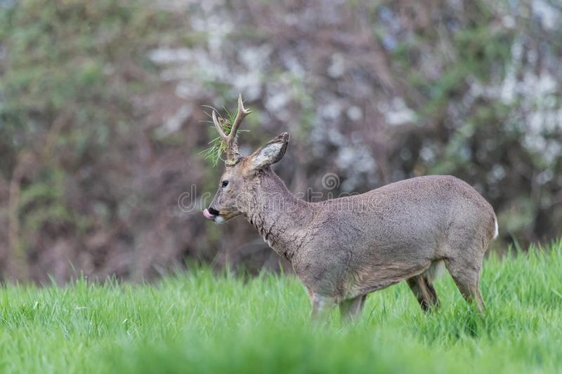 Male roe deer during a fight royalty free stock photography