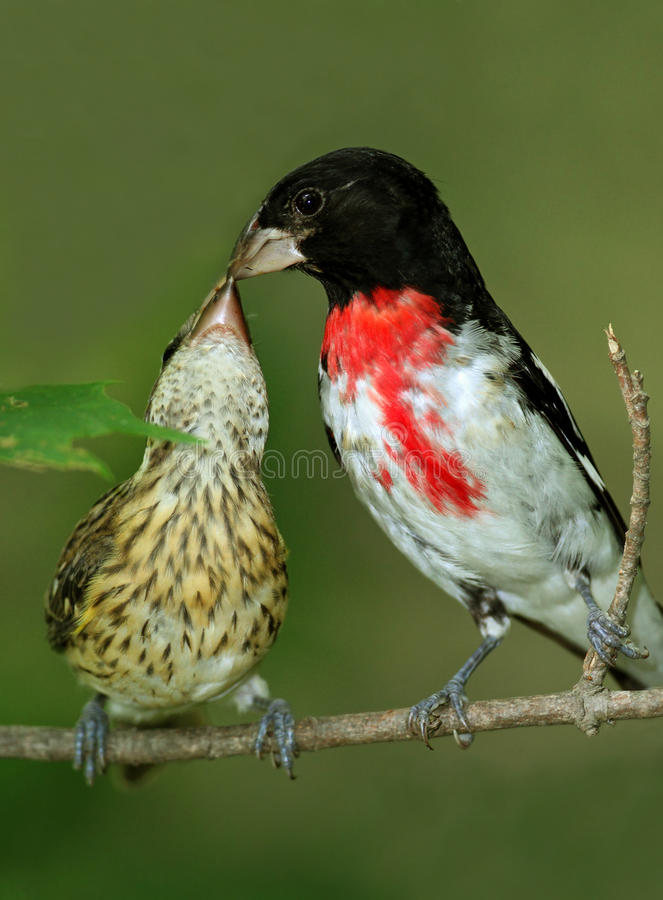 Male Rose-breasted Grosbeak Feeding Young. Male Rose-breasted Grosbeak (Pheucticus ludovicianus) feeding young - Ontario, Canada royalty free stock images