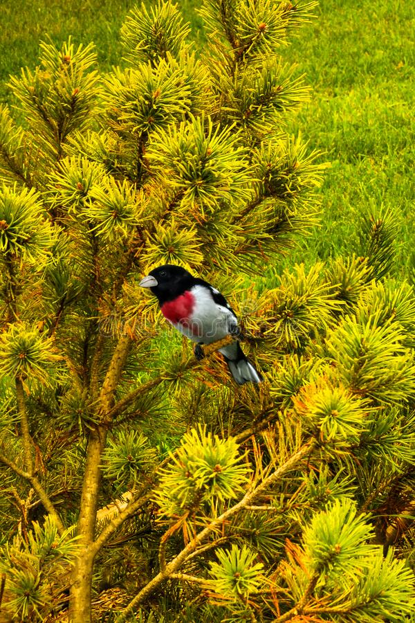 Male Rose Breasted Grosbeak in Green Pines stock photos