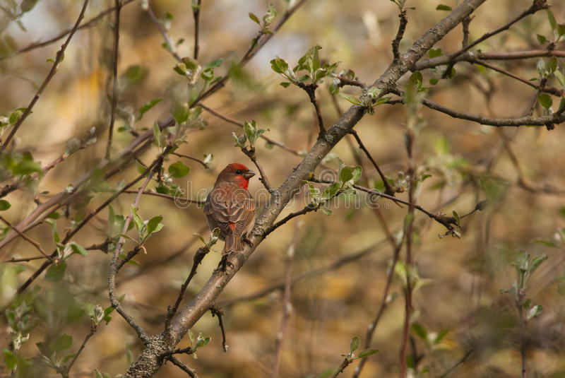 Male Rosefinch. On a branch in spring stock images