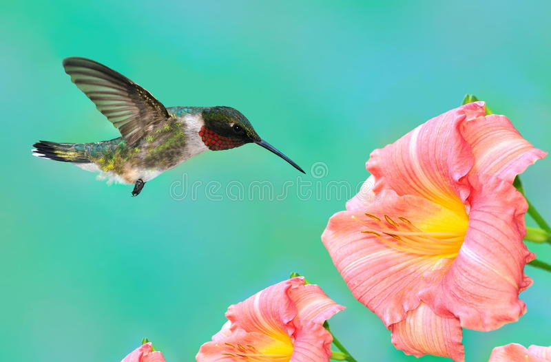 Download Male Ruby- Throated Hummingbird At Daylilies Royalty Free Stock Image - Image: 24294416