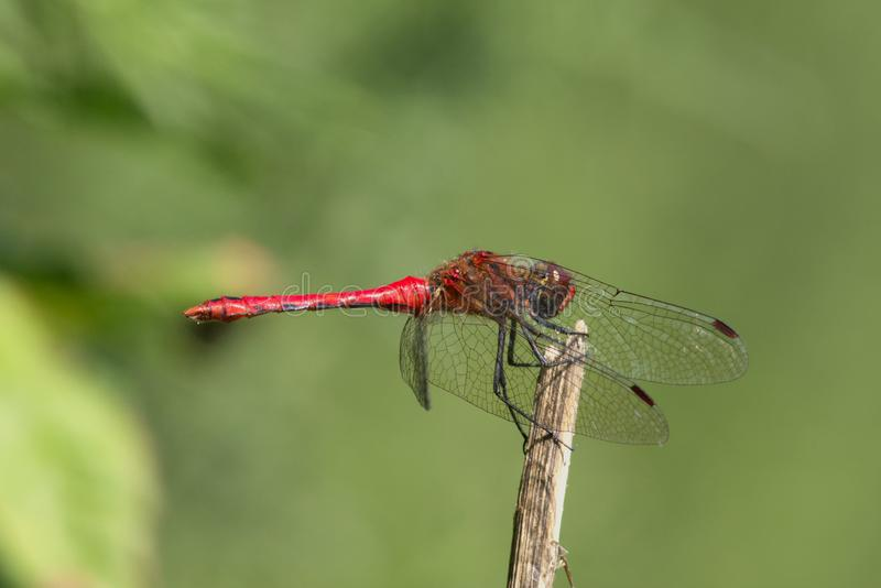 Male Ruddy Darter dragonfly resting in the summer sun. stock images
