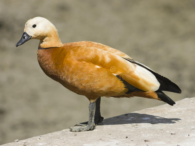 Male ruddy shelduck on concrete border of dry pond, portrait with bokeh background, selective focus stock photo