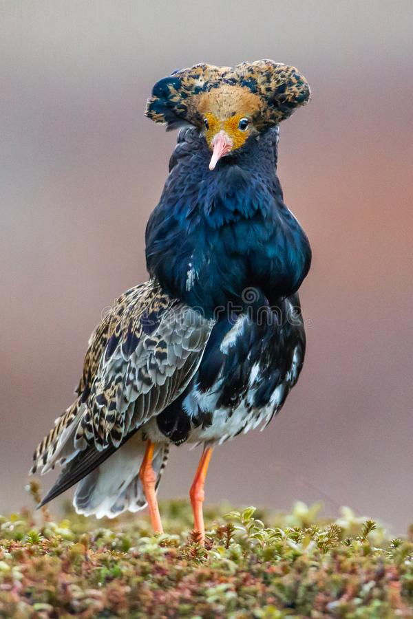 Male Ruff. In Elaborate Breeding Plumage With Head Tufts and Neck Collar Standing On Lek, Photographed Near Badsfjord, Norway royalty free stock images