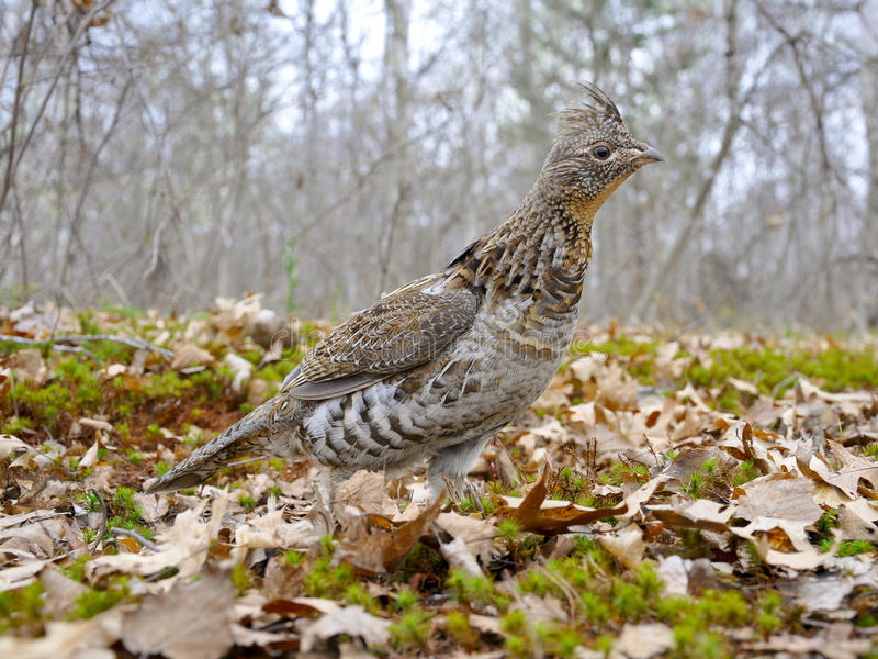Male Ruffed Grouse. Standing on moss and leaves stock image