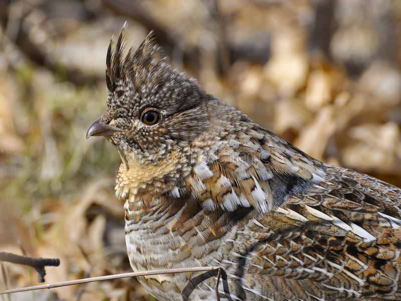 Male Ruffed Grouse. Ruffed Grouse male hunched down on the forest floor royalty free stock images