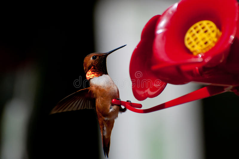 Male Rufous Hummingbird Selasphorus rufus. Male Rufous Hummingbird landing on a feeder royalty free stock photos