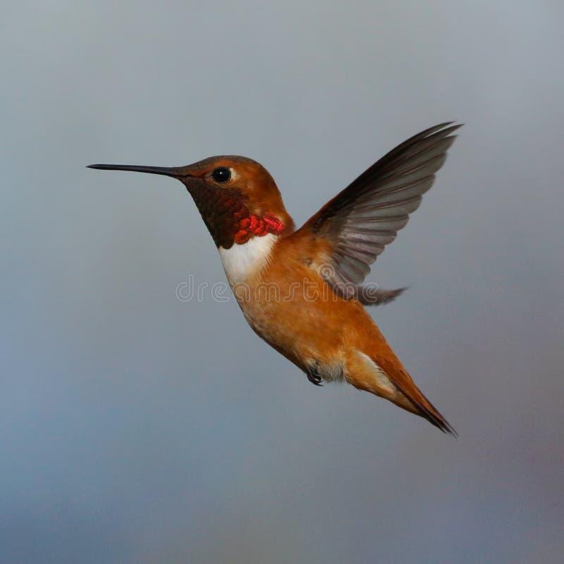 Male Rufous Hummingbird. Side profile of a male Rufous Hummingbird in flight stock image