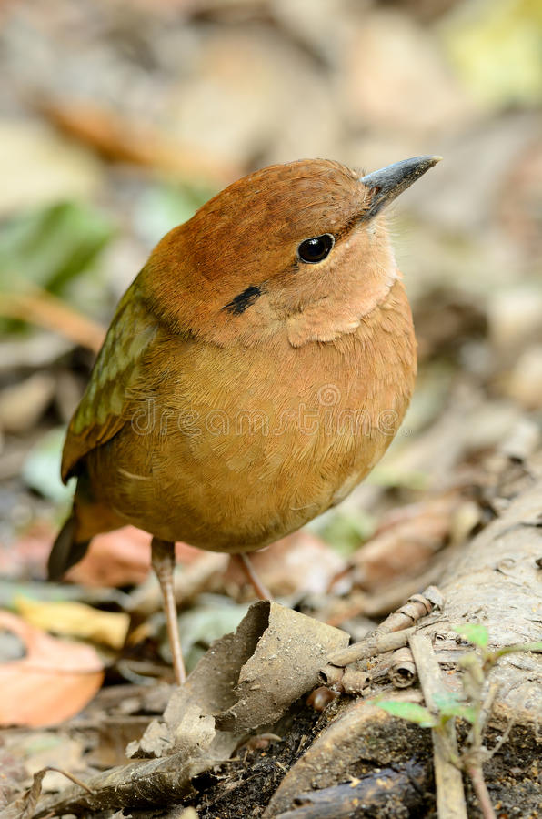 Download Male rusty-naped pitta stock photo. Image of natural - 27640530