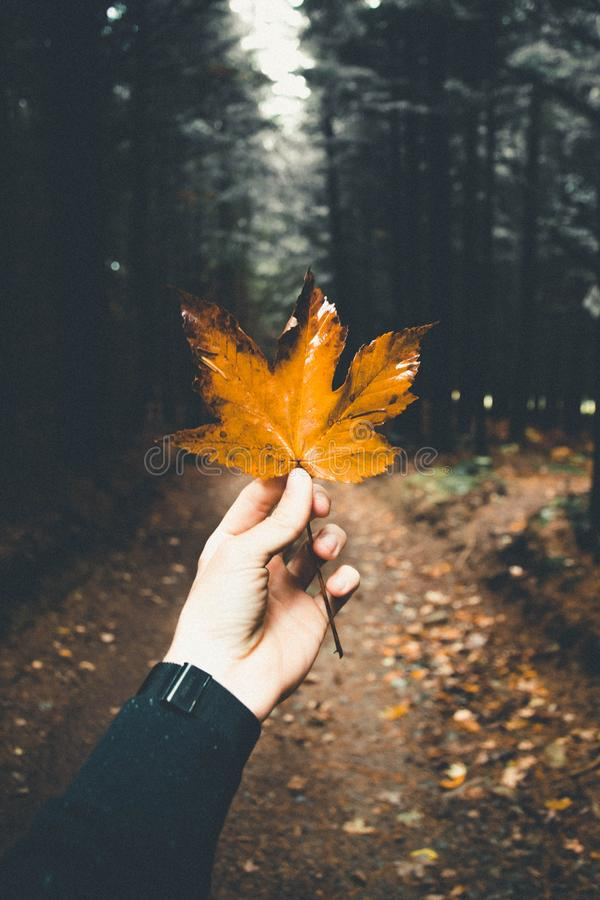 Male`s hand holding a beautiful golden Autumn leaf in a forest royalty free stock photo