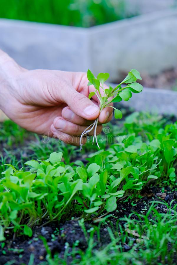 Male`s hand holding bunch of microgreens on seedbed background. Farmer inspect fresh rocket salad sprouts in garden. Healthy. Organic food concept royalty free stock photo