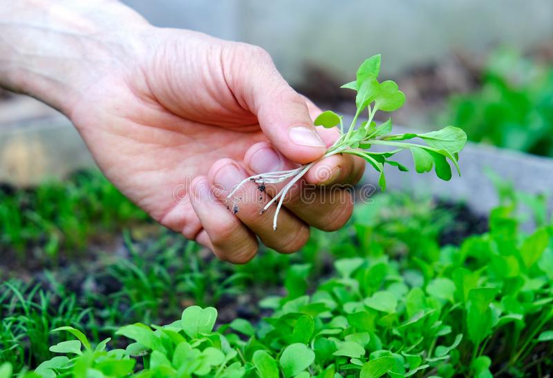 Male`s hand holding microgreens on seedbed background. Farmer inspect fresh rocket salad sprouts in garden. Healthy food concept.  royalty free stock image