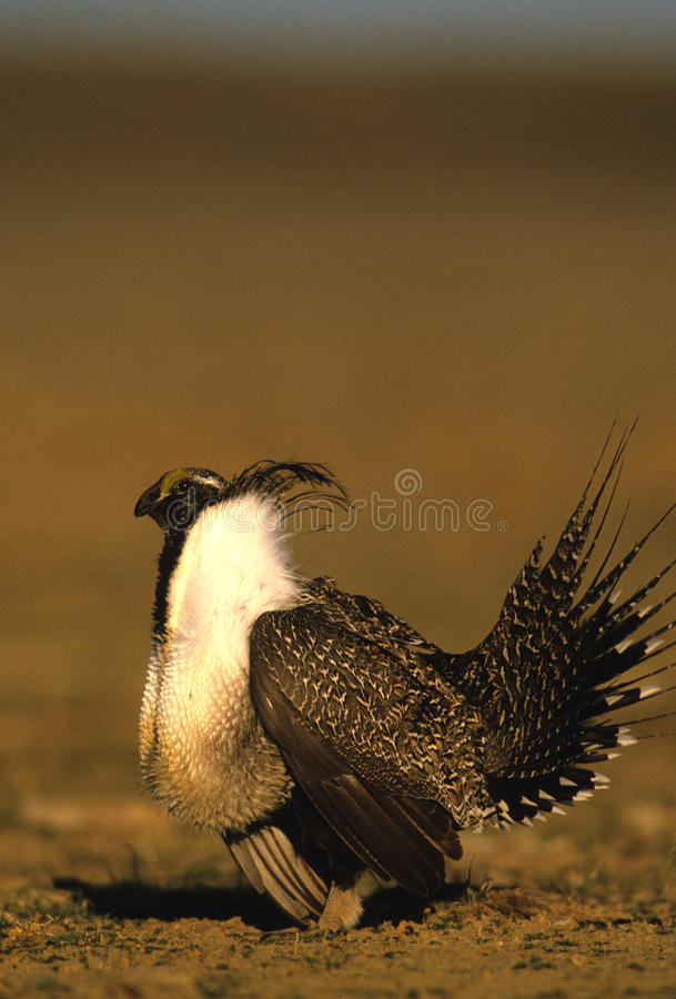 Male Sage Grouse stock images