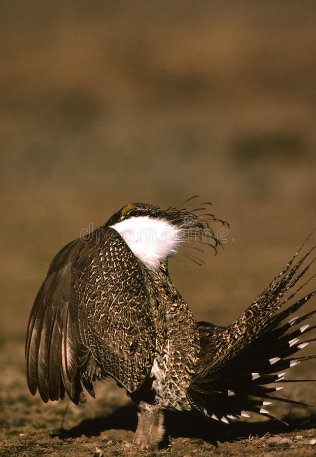Download Male Sage Grouse Strutting stock image. Image of birds - 10432923