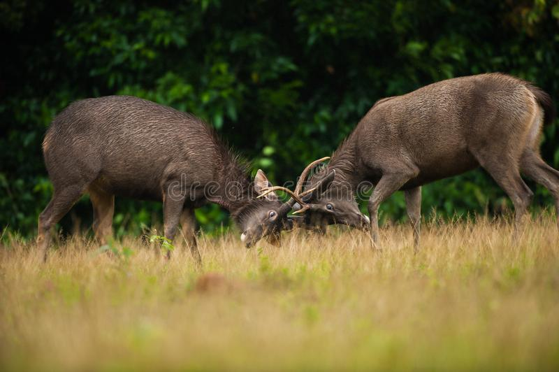 Male Sambar deer stags fighting stock photography