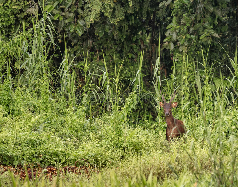 Male Sambar deer in the wild jungle at Kinabatangan river, Malaysia. Male Sambar deer - Rusa unicolor - standing in green surroundings in the jungle next to royalty free stock photos