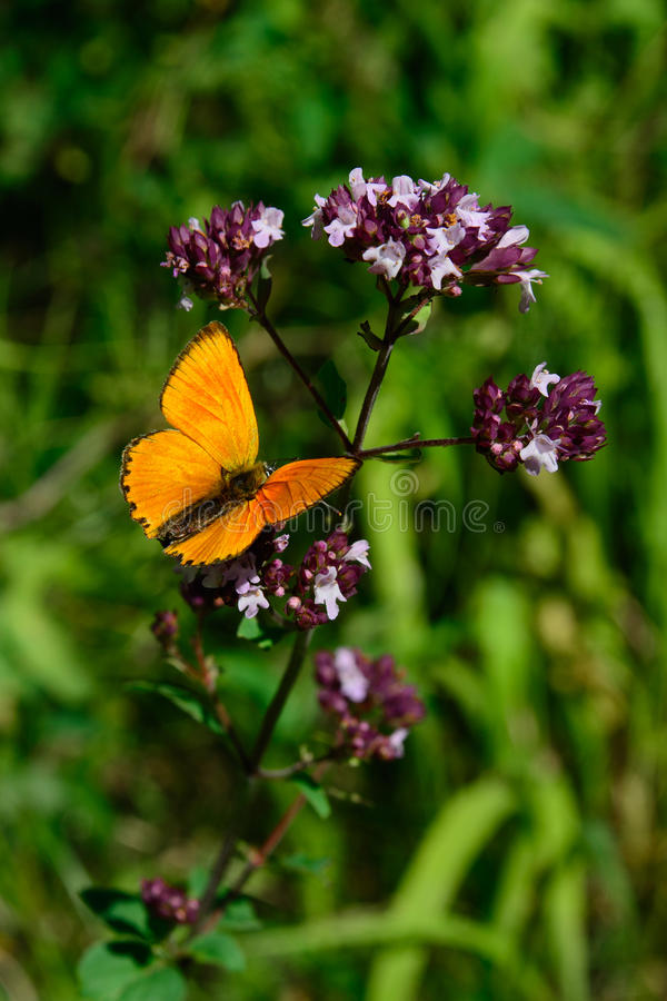 Male scarce copper (Lycaena virgaureae) sitting on a flowering Oregano (Origanum vulgare) stock photography